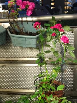 当院のベランダのつるバラが咲いています。 の画像