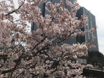 あっという間に桜が満開になりましたね! の画像